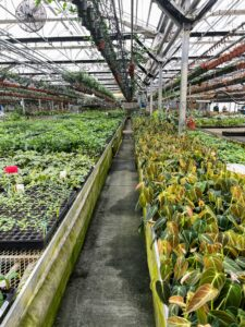 The greenhouses at Logee's are packed with a large assortment of amazing plants - neatly arranged and organized.