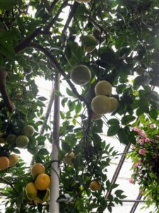 "One of Byron and Laurelynn's major interests is citrus which can be found throughout their greenhouses. This is a multi-variety citrus tree in the ""Big House."" Planted in 1964, this tree is showing grapefruit and temple oranges. Many of the citrus plants in my collection are also from Logee's."
