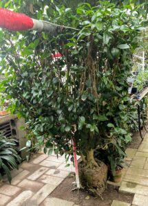 This is Camellia 'Debutant' which was brought into the Logee's greenhouse in 1940.