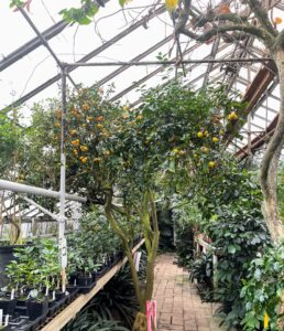 Here is a 100-year old kumquat tree with multiple varieties grafted onto it. Kumquats are a group of small fruit-bearing trees in the flowering plant family Rutaceae.