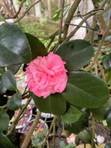 This is a Camellia hybrid. Camellias are large, attractive, broad-leaved, evergreen shrubs that are highly prized for their flowers, which bloom from winter to spring. There are more than 2300 named cultivars registered with the American Camellia Society.