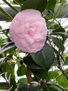 Camellia japonica 'Pearl Maxwell' has spectacular, soft, shell pink, formal double blooms in mid to late winter.