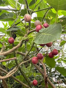 And this is Cyphomandra crassicaulis, the tree tomato - a South American delicacy which produces edible, egg-shaped fruits that taste like custardy guavas.
