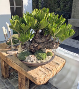 This is a well-branched Zamia bonsai underplanted with Abromeitiella mounds in a low iron ceramic bowl. Zamia is a large genus of cycads from tropical America with one species being native to southern USA. All the species produce leafy crowns of foliage that resemble palms or ferns and most branch heavily with age to produce attractive clumps.