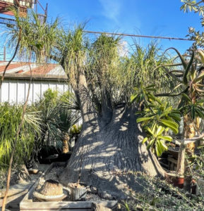 And here is a giant Elephant Foot Tree, also known as the ponytail palm, as I call mine. It is a member of the agave family and is native to southeastern Mexico. In its native habitat it grows as a 30 foot tall tree and looks like an oddly branched palm. What makes ponytail palm stand out is its distended base which can reach four feet across.