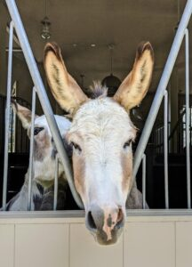 And here's Truman Junior next door greeting another visitor from the back window. I'll see you soon my donkeys.