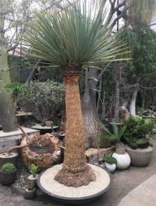 This is a Blue Nolina in a low iron ceramic bowl. This specimen resembles the yucca species, developing a 10 to 12-foot trunk and a large rosette of foliage. It is one of the larger plants found in the Nolina genus.