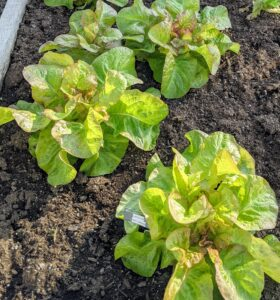 'Red Cross' lettuce has large, fancy, bright heads that are suitable for spring, summer, and fall crops.
