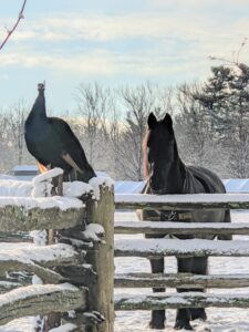 """This photo was taken when the skies were a bit lighter. One of my """"blue boy"""" peacocks is perched on the fence with Banchunch, my Fell Pony standing nearby. The animals enjoy their time outdoors. In fact, they much prefer this weather to the hot humid days of summer."""