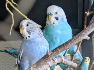 The budgie is one of the most popular parakeet species. Besides being very friendly and playful, it is hardy and easy to maintain.