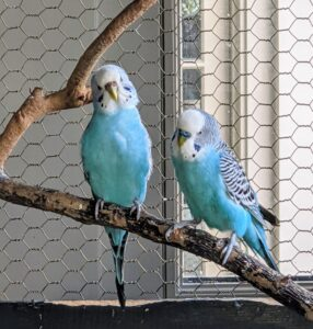 Parakeets are sweet, social little birds that enjoy interaction with each other and with their human companions, and can be taught to mimic sounds and words.
