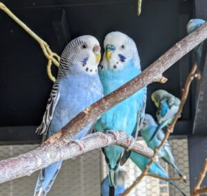 Here is another bonded pair. Look closely – the cere, located right above a parakeet's beak, reveals the bird's gender. A fully mature male parakeet has a blue cere, while a female's is brown.