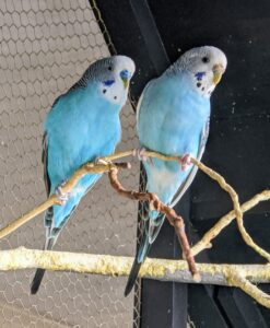 Parakeets prefer to be kept in pairs or small groups. This is a bonded male and female pair.