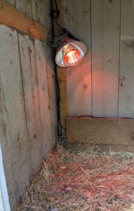 Inside, a heat lamp is set up to keep them warm. We also line the entire space with straw bedding. All the coops are also checked several times during the day and night to make sure all the birds are happy, safe and secure.