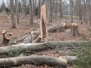 Several trees needed removing because of old age or damage from storms, etc. In this area, one tree fell during a storm, knocking part of another one down. Thankfully, it did not cause any structural damage. It all contributes to the ever changing appearance of a woodland.