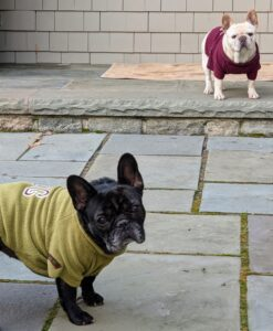 And here are my French Bulldogs, Bete Noire and Creme Brulee, out in the back doggie courtyard behind my Winter House kitchen. I think they are waiting for their meal.