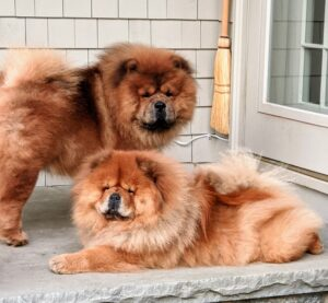 And my freshly groomed Chow Chows, Emperor Han and his sister Empress Qin - clean, happy, and once again guarding their domain, or patiently waiting for a visitor to play with them. The Chow Chow is an ancient breed of northern Chinese origin. As an all-purpose dog of China, it was used for hunting, herding, pulling and protection. See you soon, my dear doggies.