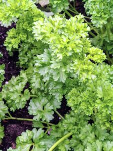 """All the greens are looking fantastic this season. Here's our bed of parsley. Parsley is a flowering plant native to the Mediterranean. It derives its name from the Greek word meaning """"rock celery."""" It is a biennial plant that will return to the garden year after year once it is established."""