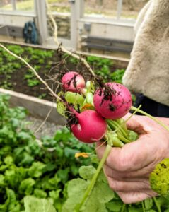 Next, I picked lots of wonderful radishes. The radish is an edible root vegetable of the Brassicaceae family. Radishes are grown and consumed throughout the world, and mostly eaten raw as a crunchy salad vegetable.