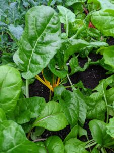 Here are some of the bright yellow Swiss chard stems.