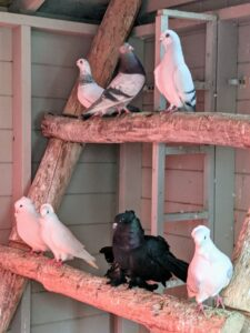 Pigeons are very social animals. They will often be seen in flocks of 20 to 30 birds.