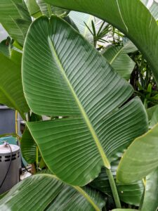 Here is a closer look at a leaf. These plants have evolved to create these splits along their lateral leaf seams to allow the wind to pass by. In doing so, they eliminate the risk of being snapped in half by strong tropical gusts.