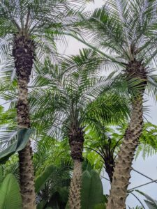 Also in this enclosure is this tall pygmy date palm tree, Phoenix roebelenii. This tree grows to about 10-feet tall or more. Phoenix roebelenii is a popular ornamental plant and needs little pruning to develop a strong structure.