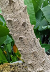 The slender trunk has decorative protuberances along its entire length from where fronds were once attached, but have fallen off as the tree grows.