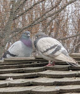 Oftentimes, pigeons of the same breed will stay close together – here is a pair of Dunn Tipplers, also very adept at staying in flight for hours without stopping.