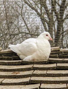 This is a white Homer – among the most famous pigeon breeds. It comes in a variety of colors and has a remarkable ability to find its way home from very long distances.