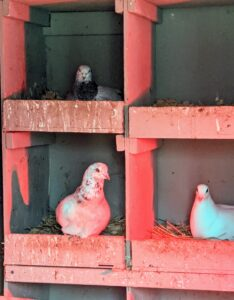 Pigeons breed all year round with peak breeding periods in spring and summer. These hens love their nesting boxes and love to sit in them.