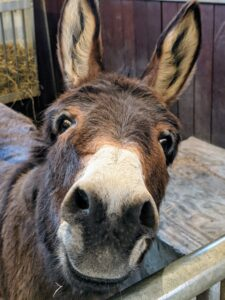 The donkey's sense of smell is considered to be similar to the horse. Donkeys greet each other by smelling and blowing in each other's nose. The smell of breath imparts important information to the donkey. I think Rufus is sniffing for a treat.