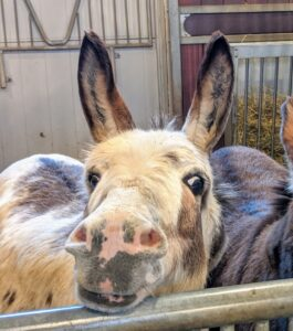 Although donkeys are very conscious of safety in their surroundings, they are also quite curious.