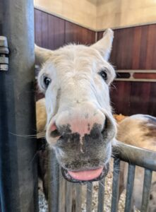Silly Clive - are you making faces? All the donkeys have very different and fun personalities. Donkeys also have a reputation for stubbornness but this is because of their highly developed sense of self-preservation. It's difficult to force or frighten a donkey into doing something that's contrary to its own best interest or safety.
