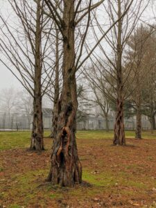The Metasequoia, or dawn redwood, is a genus of fast-growing deciduous trees, one of three species of conifers known as redwoods. The bark of the dawn redwood becomes deeply fissured as the tree matures. Just behind the dawn redwoods, is my chicken yard.