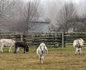 Donkeys are very social animals. They start walking toward anyone passing their pen.