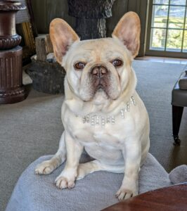 Here's Creme Brulee posing so nicely for a photo. This breed is known for its wrinkly, smushed face and bat-like ears.
