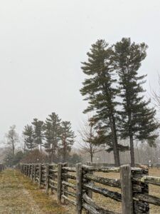 Here's a photo of two stands of Eastern white pines. These trees stand so tall and majestic in the fields.