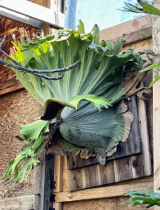 And here's a staghorn. I am a big fan of staghorn ferns, Platycerium, and have many in my own collection at my Bedford, New York farm.