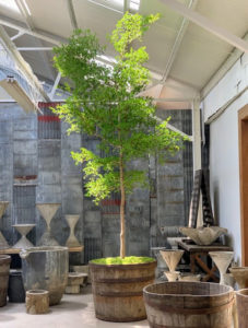 This specimen black olive tree is in an aged vintage wooden planter.