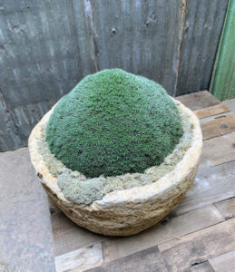 And here is a large Abromeitiella mound, also in a stone planter. Abromeitiella plants are mat-forming succulents with spined leaves arranged in numerous rosettes. They grow slowly and sometimes form cushion-shaped colonies. In their natural environment, they almost never get water, and have developed the capacity to absorb water from the humidity in the air.