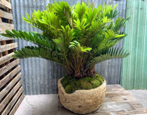 This is a specimen Zamia in an aged hewn stone planter.