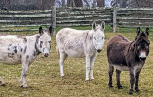 Clive, in the center, is the tallest of the five donkeys. Do you know… a donkey is capable of hearing another donkey from up to 60 miles away in the proper conditions? They have a great sense of hearing, in part because of their large ears.