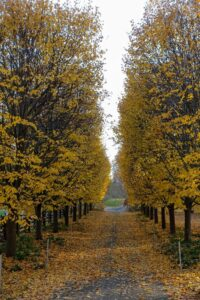 And in autumn, the leaves take on a beautiful golden hue before eventually dropping.