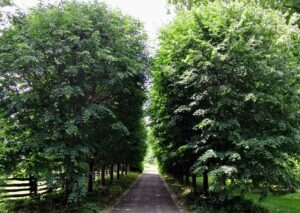 These lindens have grown beautifully here at the farm. This photo was taken in summer when the trees were all full of leaves. These handsome trees have a loose canopy that produces dappled shade on the ground below, allowing in just enough sunlight for shade grasses and flowers to develop nicely.
