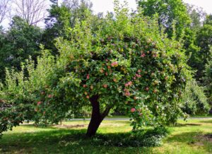 Here's another tree with lots of red, juicy apples. To maintain productive fruit trees, they do need regular maintenance and pruning once a year.
