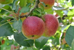 Last year was not an overly productive apple season, so I am looking forward to an abundance of fruit this year.