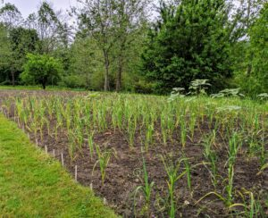 Here's the bed in early June - still a few weeks from harvest. Garlic loves a rich fertile loamy soil. It also grows best in an area that drains well – the cloves can rot if they sit in water or mud.