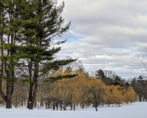 Looking to the side, one sees the view of the lovely weeping willows which grow on the edge of the hayfield. Their golden color looks so pretty against the winter white snow.