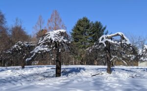 "These are newly pruned trees up near what I call my ""Contemporary House."" Snow covers the tops, outlining their interesting shapes. These are some of the oldest fruit trees on the property."